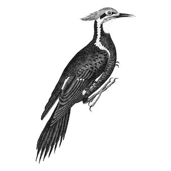 Ilustrações vintage de pica-pau pileated