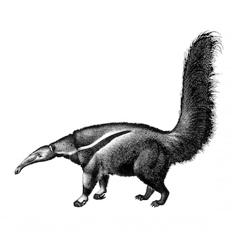 Ilustrações vintage de tamanduá