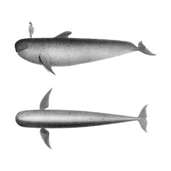 Ilustrações vintage do peixe negro