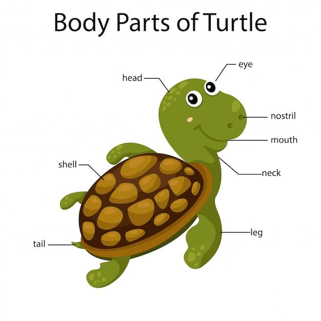 Ilustrador de partes do corpo da tartaruga
