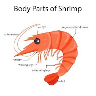 Ilustrador de partes do corpo de camarão