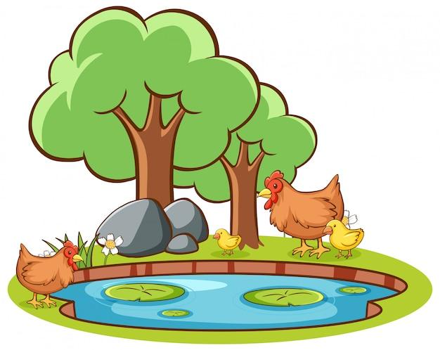 Imagens isoladas de frango à beira da lagoa