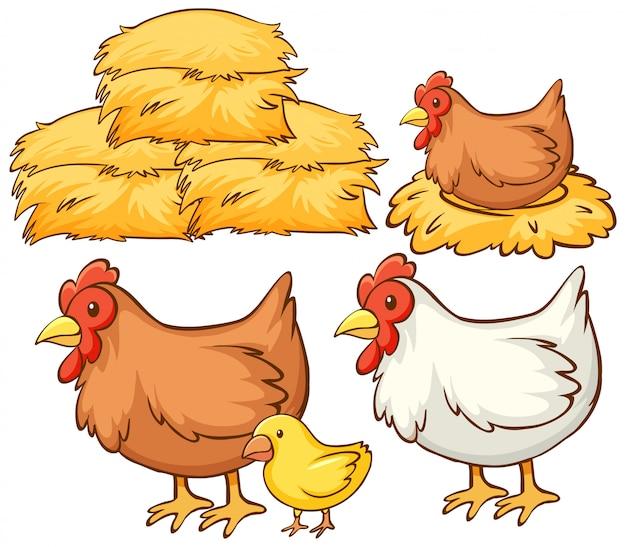 Imagens isoladas de galinhas e feno
