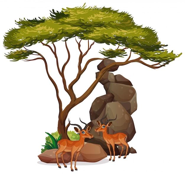 Imagens isoladas de gazelas debaixo da árvore