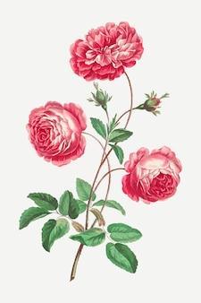 Impressão de arte floral vintage com rosa provençal, remixada de obras de arte de john edwards