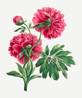 Impressão de arte floral vintage de vetor peônia rosa, remixada de obras de arte de john edwards