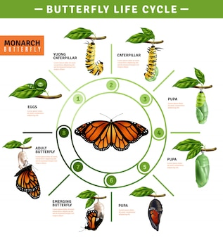 Infografia de ciclo de vida de borboleta