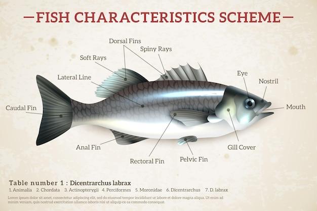 Infografia de esquema de peixe com robalo brilhante e inscrições em papel velho