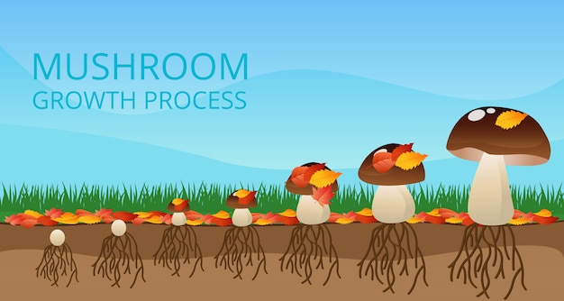 Infografia de processo de crescimento de cogumelo
