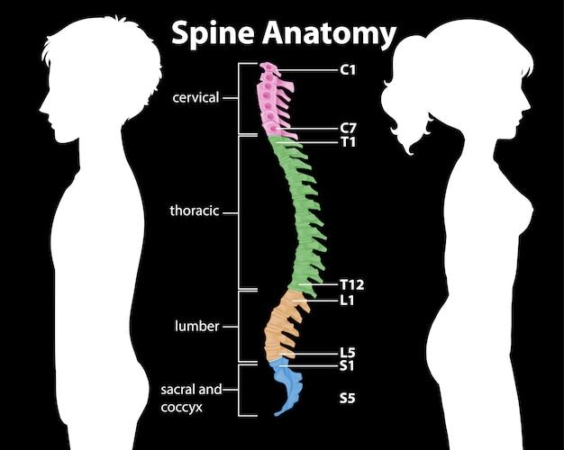 Infográfico de anatomia da coluna vertebral ou curvas da coluna vertebral