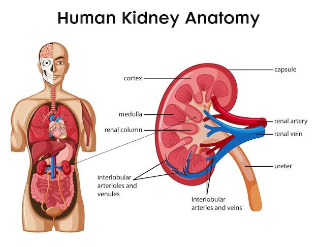 Infográfico de estilo de desenho animado da anatomia do rim humano