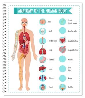 Infográfico de informações da anatomia do corpo humano