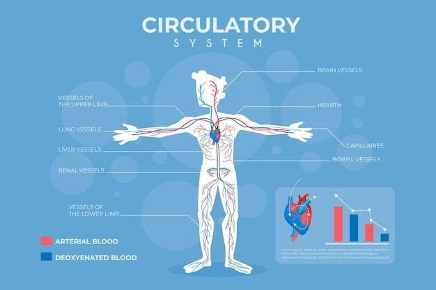 Infográfico de sistema circulatório plano