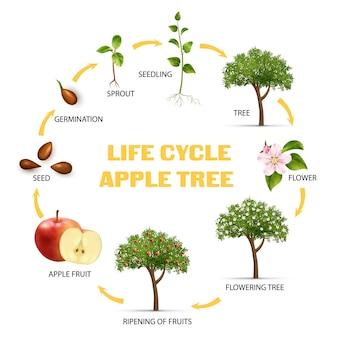 Infográfico do ciclo de vida da macieira com ilustração realista