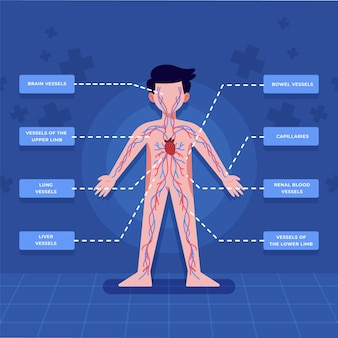 Infográfico do sistema circulatório em design plano