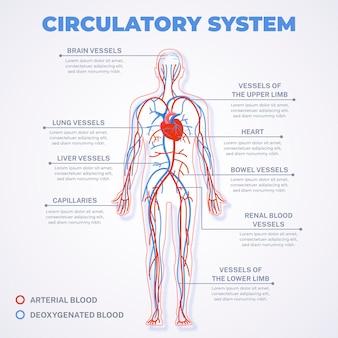 Infográfico do sistema circulatório linear