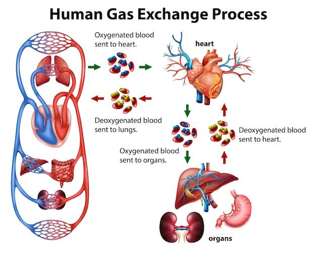 Infográfico médico do processo de troca gasosa humana