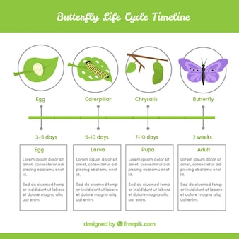 Infográfico sobre o ciclo de vida da borboleta