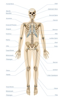 Infográficos do sistema esquelético humano realista