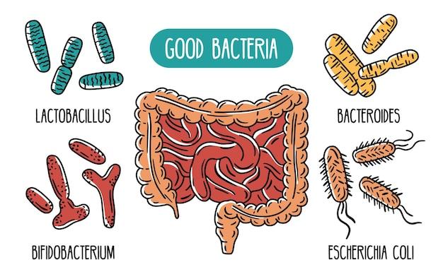 Infográficos vetoriais das boas bactérias do intestino humano