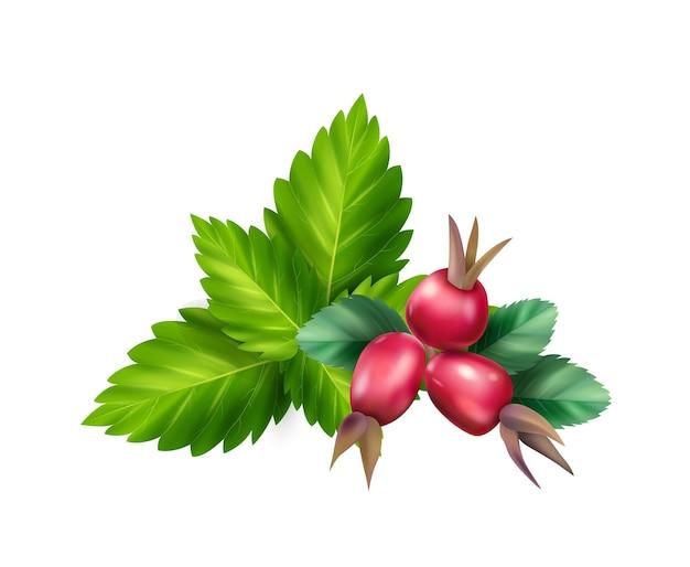 Ingredientes de chá de ervas com melissa, folhas de roseira brava e bagas realistas