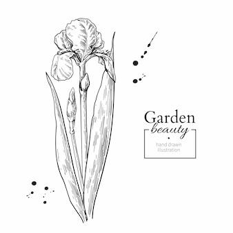 Iris flor e folhas de desenho.