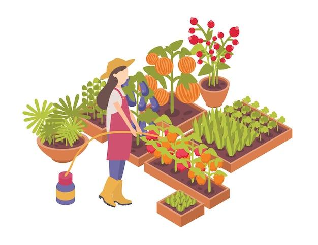 Jardineiro ou agricultor feminino que rega as safras que crescem em caixas ou plantadores isolados no fundo branco.