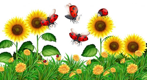Joaninhas que voam em jardim de girassol