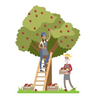 Jovem agricultora feliz em pé na escada e colhendo maçãs vermelhas de uma enorme macieira. velho fazendeiro coletando maçãs em uma caixa. verão no campo. ilustração