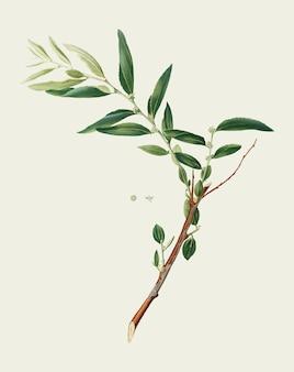 Jujuba from pomona italiana illustration
