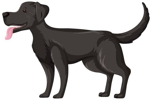 Labrador retriever preto em pose de pé