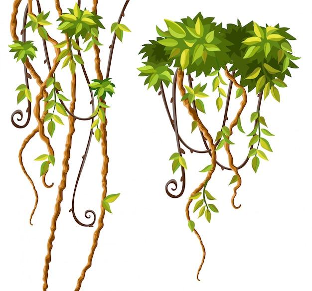 Liana ramos e folhas.