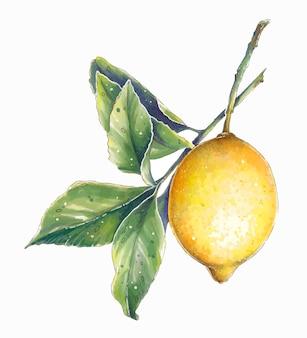 Limão brilhante em um galho com folhas verdes