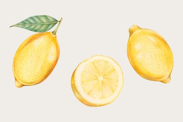 Limões frescos em estilo desenhado à mão