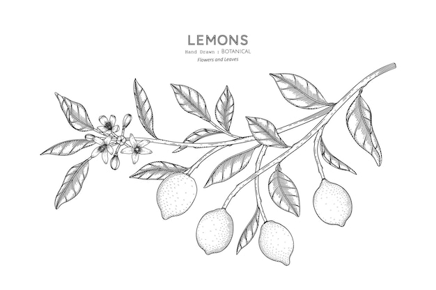 Limões fruta mão desenhada ilustração botânica com arte de linha.