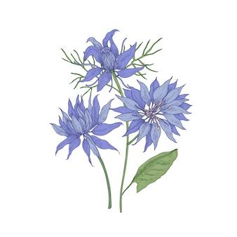 Lindas flores de nigella azuis desabrochando isoladas no fundo branco