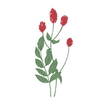 Lindas flores e folhas de sanguisorba officinalis ou planta grande burnet isolada no branco