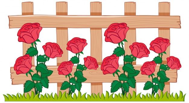 Lindas rosas no jardim em fundo branco