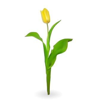Lindas tulipas em fundo branco. ilustração.