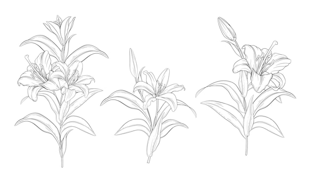 Lindos buquês de lírios desenhados à mão