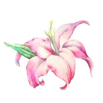 Lírio cor de rosa isolado em um fundo branco.