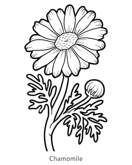 Livro de colorir para crianças, flor de camomila