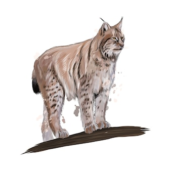 Lynx de um toque de aquarela, desenho colorido, realista. ilustração vetorial de tintas
