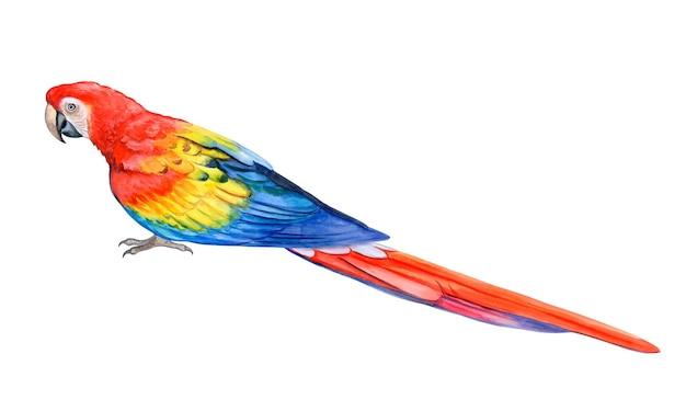 Macaw scarlet parrot vermelho modelo de ilustração em aquarela