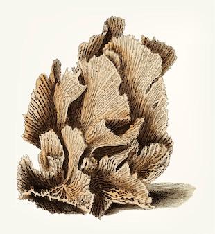 Madrepore de mão desenhada de alface