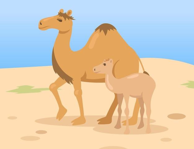 Mãe de um camelo corcunda com filho potro caminhando no deserto