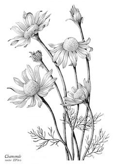 Mão de flores de camomila desenhar vintage isolado no fundo branco