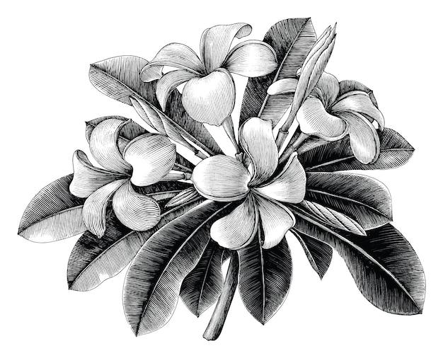 Mão de flores de frangipani desenhar gravura vintage isolada no fundo branco