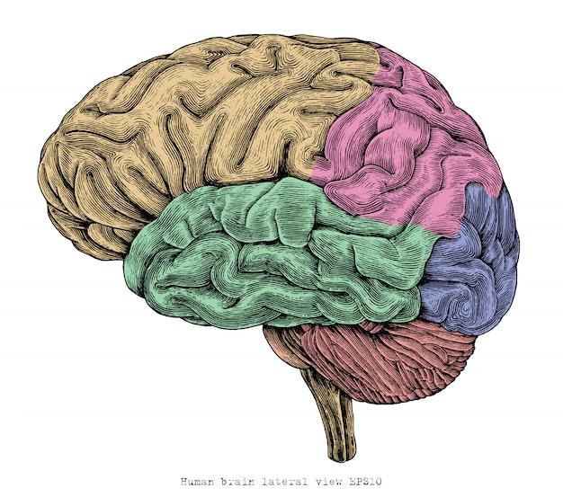 Mão de vista lateral do cérebro humano desenho ilustração gravura vintage