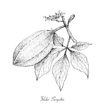 Mão desenhada de abóbora canelada no fundo branco